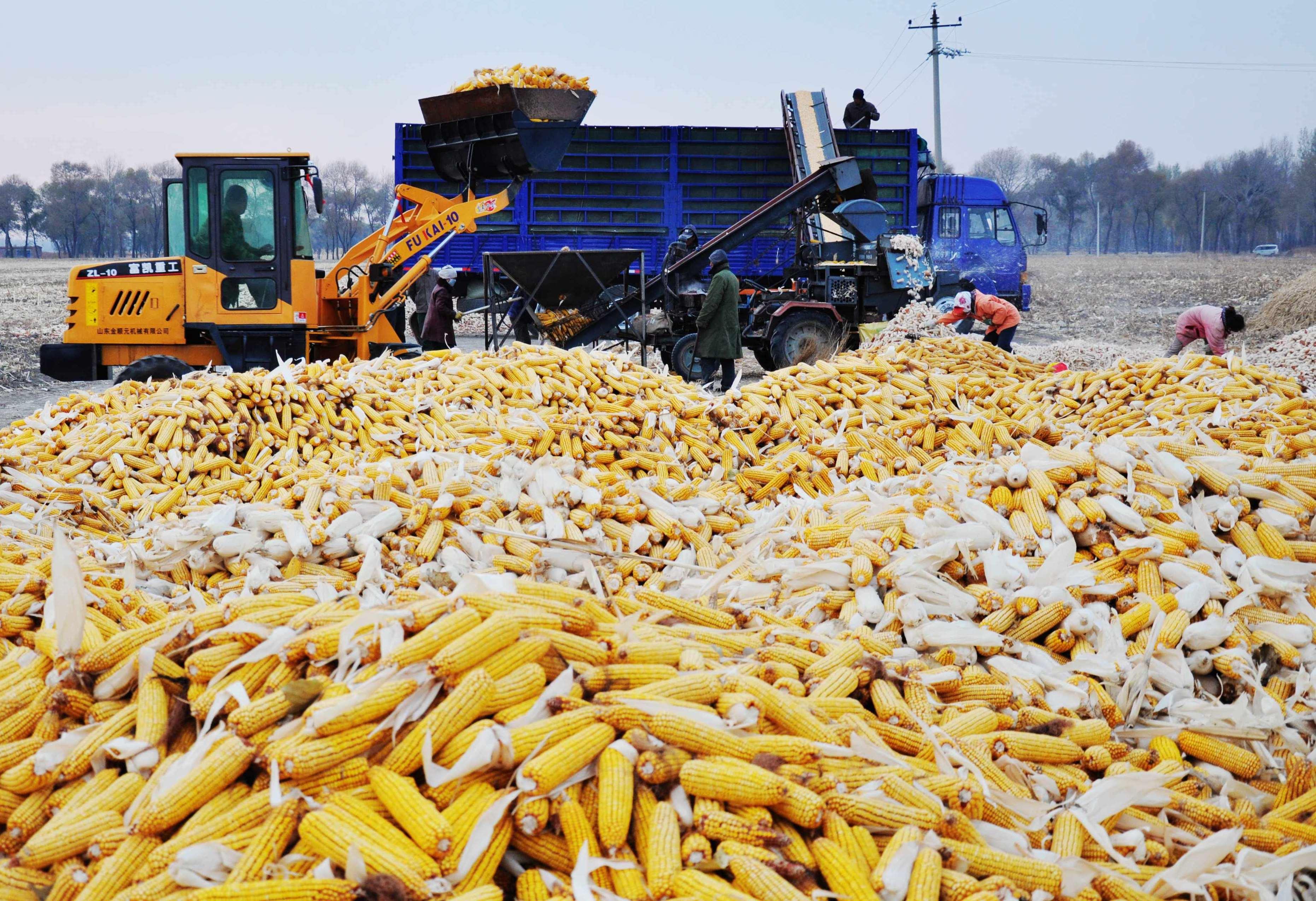 哈拉海玉米丰收啦!