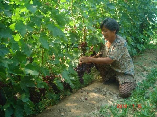 的突破口,引导职工在温室大棚种植优质,高产,高效的蔬菜,果树品种