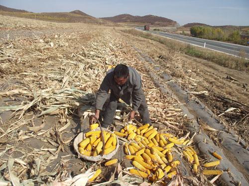 扎兰屯市蘑菇气镇坡耕地覆膜玉米喜获丰收