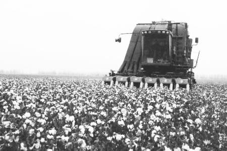 新疆兵团农五师:机械化采收棉种