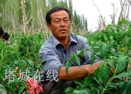 5亩晚熟西红柿搭架子
